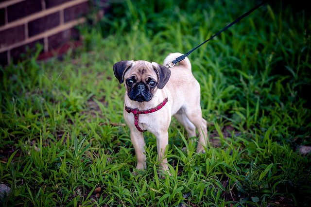 Is the Lovable Pug the Right Breed for You