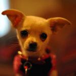 Should You Buy a Chihuahua?
