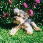 Is a Yorkshire Terrier Right for You?