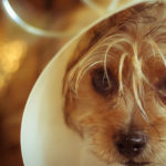 Common Eye Problems in Small Dogs