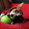 Find the Right Chew Toy for Your Small Dog Puppy