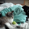 Cat dares Boston Terrier to get toy back..too funny
