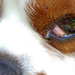 How to Get Rid of Eye Infections in Small Dogs