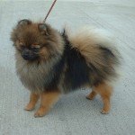 The Pomeranian: This Small Dog Steals Sharon Osbourne's Heart
