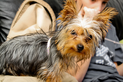 The Yorkshire Terrier is #6 in the AKC's Top Breeds in the U.S. Photo Courtesy wsilver, Flickr