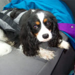 Why You Should Use a Seat Belt For Your Small Dog