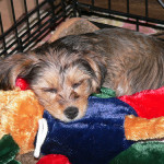 Prison or Palace: Is a Crate Good for Your Small Dog Puppy?