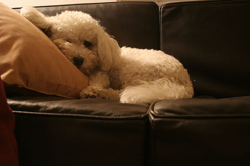 Living in an apartment with a small dog is possible with the right breed. Photo courtesy  dgphilli, Flickr