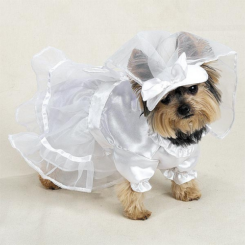 This Yorkie bride is all dressed and ready for the wedding! Photo courtesy fashionsuits, Flickr