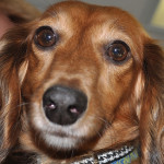 Senior and Special Needs Small Dogs Get Help