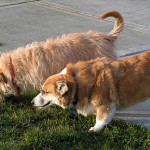 How To Stop Coprophagia In Small Dogs