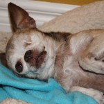 Chihuahua's Miraculous Rescue Story
