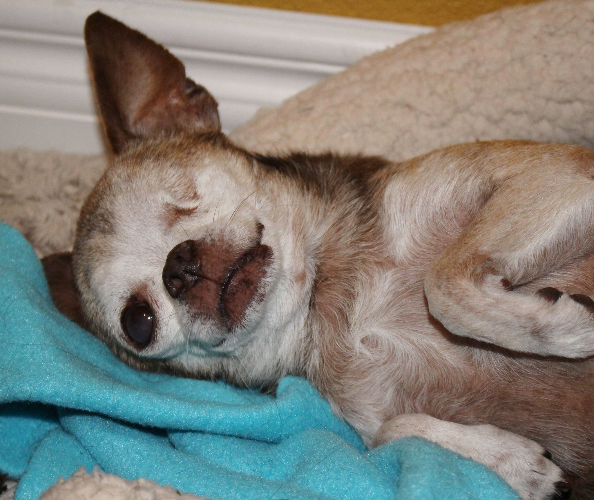 Harley the Chihuahua has a brand new life after being rescued by one woman. Photo courtesy of Harley on Facebook.
