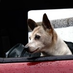 Thanksgiving Travel Tips for Your Small Dog