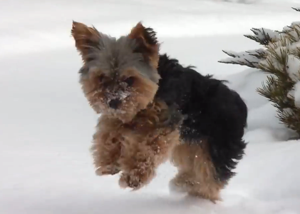 Yorkie Loves To Play In The Snow