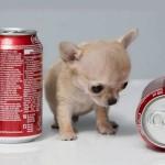 Toudi the Tiniest Chihuahua