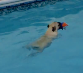 pug swimming in pool