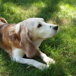 Caring for the Needs of Your Senior Small Dog