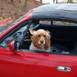 Safety Tips on Small Dogs and Vehicles