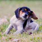 Are Fleas Causing Your Small Dog to Itch?