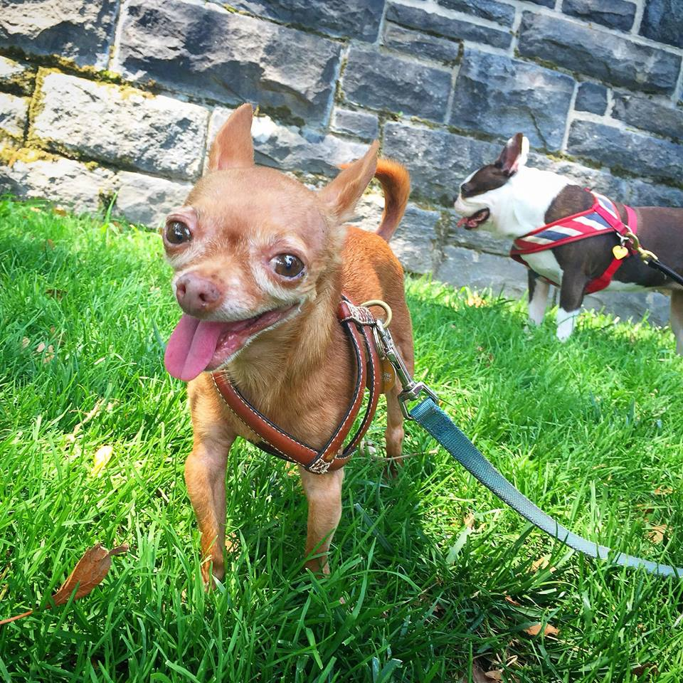 Mervin the Chihuahua was left for dead and alone, but now has a new, and exciting life. Photo courtesy facebook.com/Mervinthechihuahua