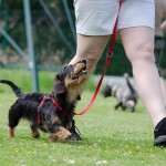 Does Your Small Dog Refuse to Listen?