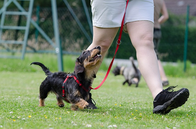 With the right training and understanding of behavior you can teach your small dog to listen.