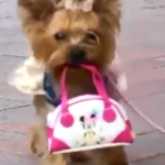 This Yorkie Knows How To Shop!