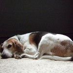Help Remedy Hip Dysplasia in Your Small Dog