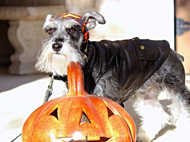 By making Halloween and fun experience we can help our dogs greet new people at the door like this one waiting for trick or treaters. Photo courtesy tex-anne, Flickr
