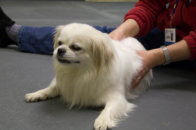 A simple massage can help relieve your dog's joint pain this Winter. Photo courtesy Save-A-Pet Adoption Center , Flickr