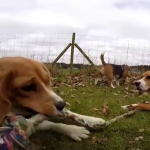 Best Ever Beagle Party!