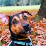 Should Shock Collars for Dogs Be Banned?