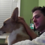 Corgi is Bothered By Dad