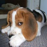 Why Does Your Small Dog Chew Their Paws?