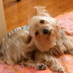 Does Your Small Dog Have an Ear Infection?