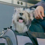Small Dogs Are Welcome on Amtrak