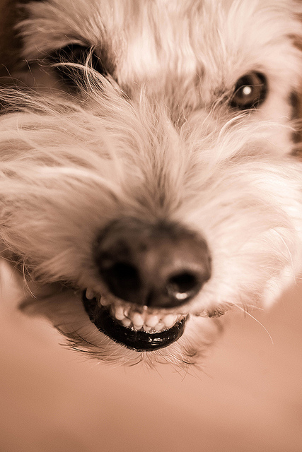 You can keep your dog's teeth clean with regular brushing. Photo courtesy Sonny Abesamis, Flickr