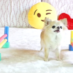 Tiny Chihuahua Does Agility Like a Pro