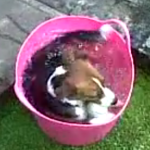 Small Dog Cools Off in Bucket