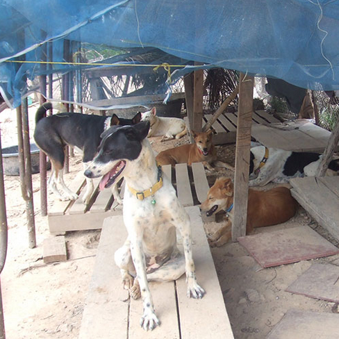 Headrock Dogs helps dogs in need in Thailand. Photo courtesy headrockdogs.org