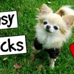 Cute Puppy Sized Chihuahua Does Easy Dog Tricks Outdoors