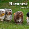 Happy Havanese Dogs Playing in the Garden