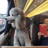 How to Prepare Your Small Dog for Long Train Trips