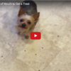 Desperate Yorkie Will Do Anything For A Treat, Spits Out Food That's Already In His Mouth