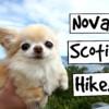 CUTE PUPPY Sized Chihuahua HIKING in Nova Scotia